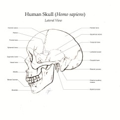 Human Skull Diagram Without Labels Pajero Electrical Wiring A Study Curelecoeur