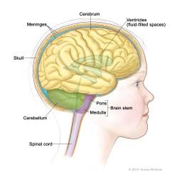 Reticular Formation Diagram Braun Millennium Wheelchair Lift Wiring Childhood Brain Stem Glioma Treatment Pdq Cure Today