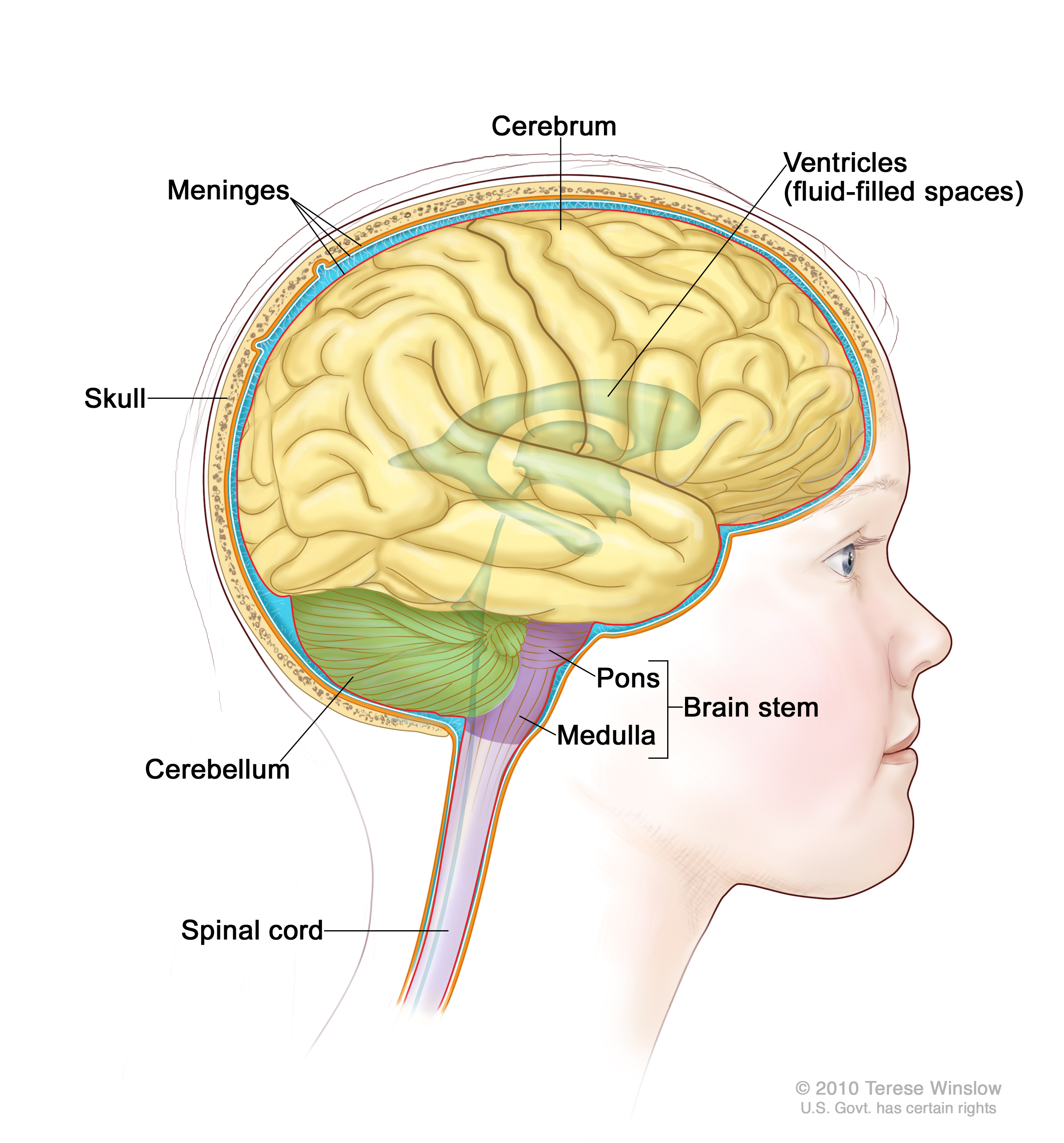 human brain diagram cerebrum harbor breeze fan switch wiring childhood stem glioma treatment pdq cure today