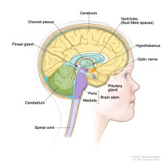 Brain And Spinal Cord Diagram Basic Human Childhood Central Nervous System Germ Cell Tumors