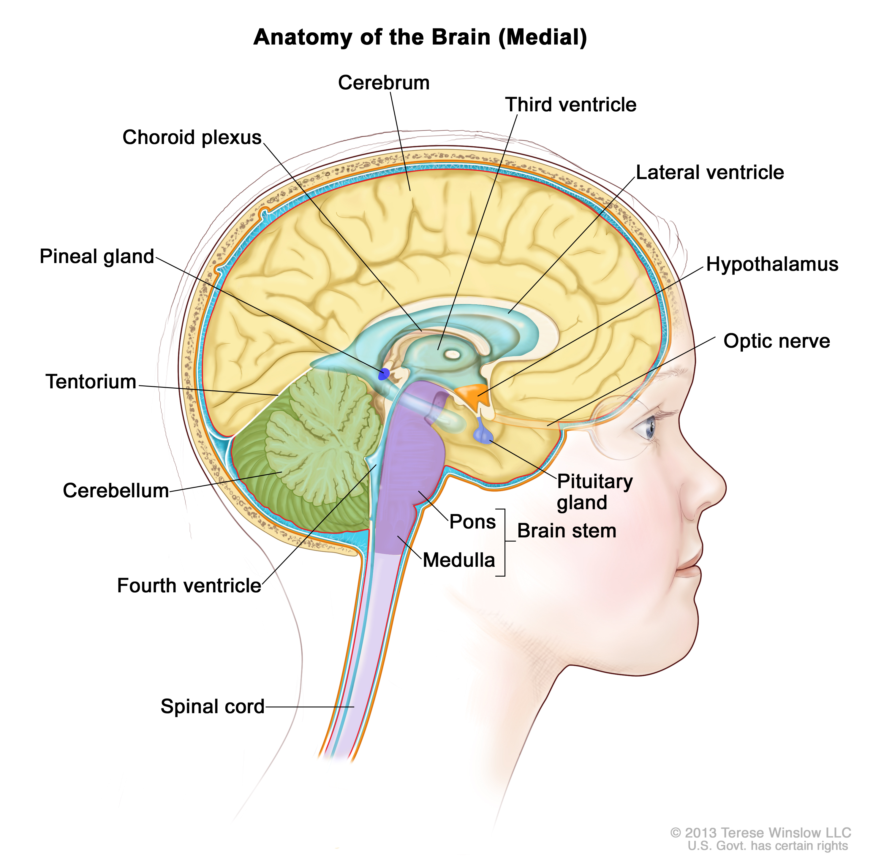 right lateral brain diagram bt telephone master socket wiring childhood stem glioma treatment pdq cure today