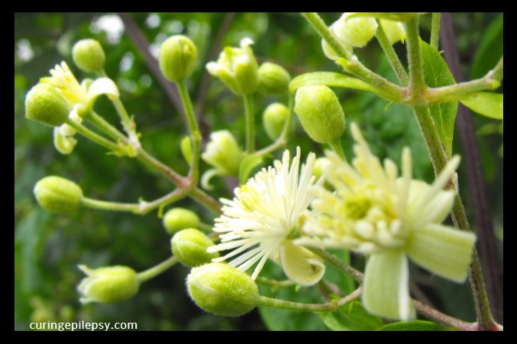 Herbal Medicines For Seizures and Epilepsy Treatment