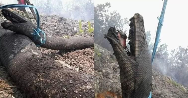 Cobras gigantes de mais de 10 metros foram encontradas mortas após incêndio florestal