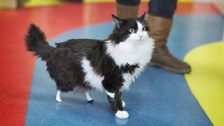"""Gatinho perde patas em atropelamento e ganha próteses """"biônicas"""""""