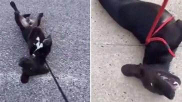 Cachorro finge desmaios