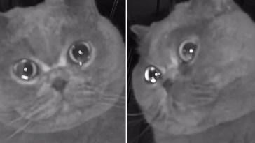 Gatinho dramático vai câmera chora