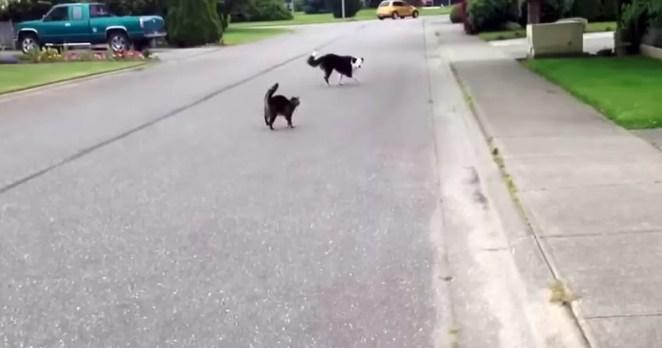 Gato herói espanta cachorro brigão