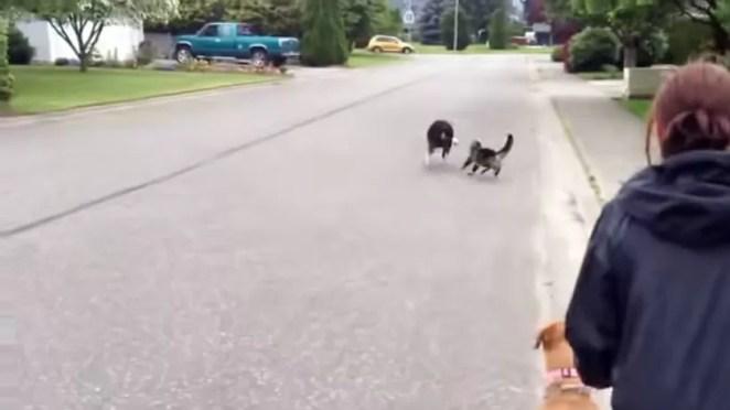 Gato herói espanta cachorro