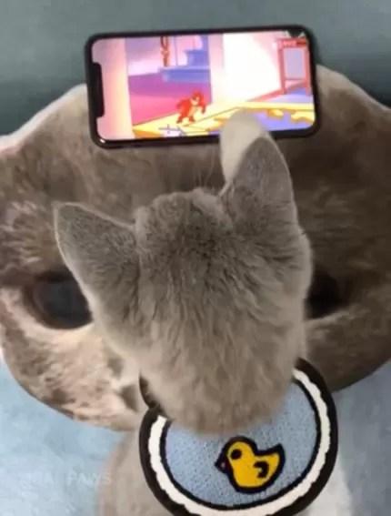 Gatinho que parece o Tom é fascinado por desenhos de Tom & Jerry