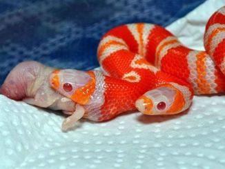 Serpiente de dos cabezas