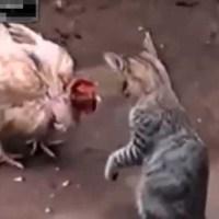 Gallina y gato se enfrentan en una épica batalla con un inesperado final