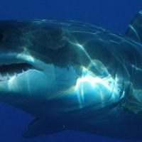 VÍDEO: Un tiburón blanco casi le arranca la cabeza a un buceador