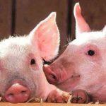 Video: Un cerdo salva a su compañero en el matadero