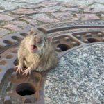 Se movilizan los bomberos para ¡Salvar a una rata!