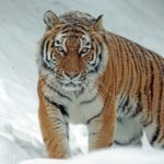 El ocaso de los tigres