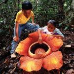 La flor más grande del mundo