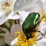 Maquech, la leyenda maya del escarabajo vivo vestido con joyas