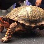 La tortuga Pedro vuelve a caminar con una silla de ruedas de LEGO