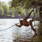 El Orangután que aprendió a pescar, mas listo que los políticos.