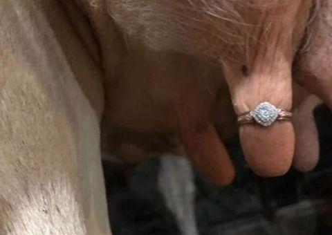 Le propone casamiento poniendo el anillo en la ubre de una vaca
