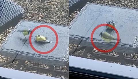 """Pájaro """"revive"""" a otro que chocó contra un vidrio"""