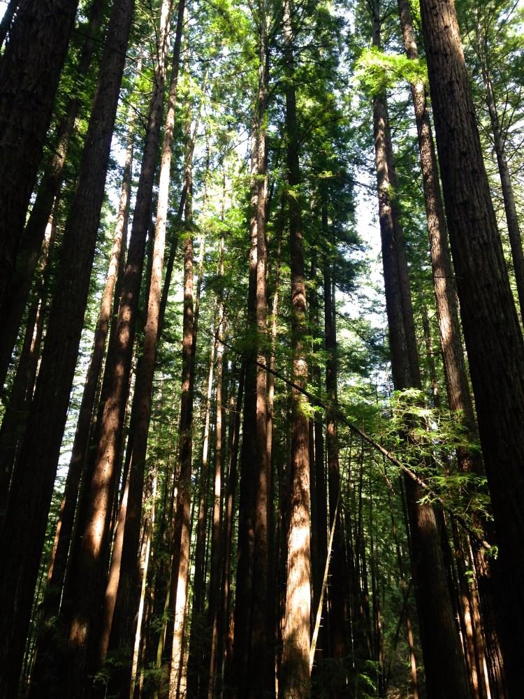 Armstrong Redwood