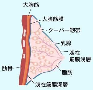 クーパー靭帯の図