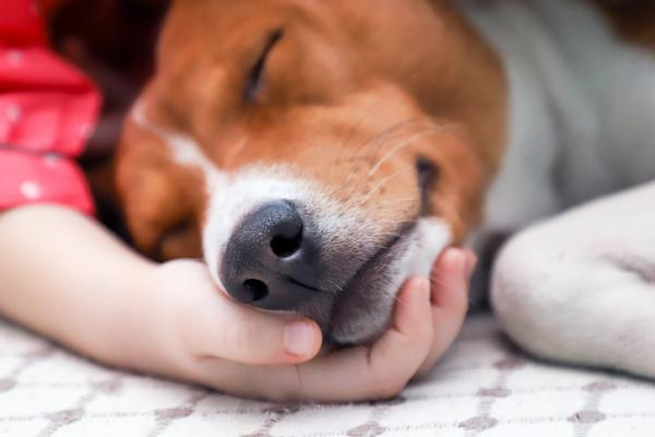 A Terrier breed dog sleeping on a child's hand