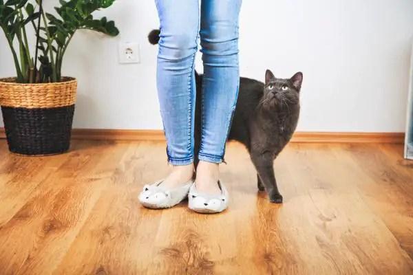 Strange cat behaviors: A black cat rubbing against a woman's legs to socialize.