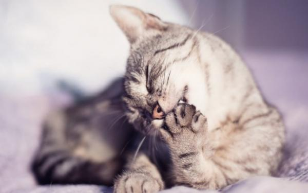 A gray Tabby cat biting and licking his forelimb pads