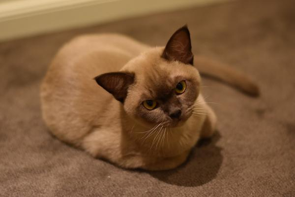 A light brown European Burmese cat with yellow eyes looking at the camera