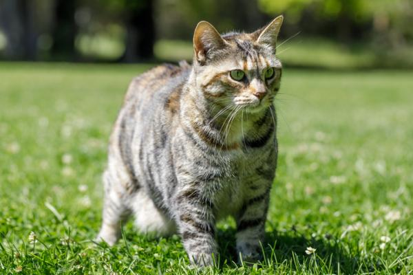 A multicolored striped American Bobtail cat standing on grass