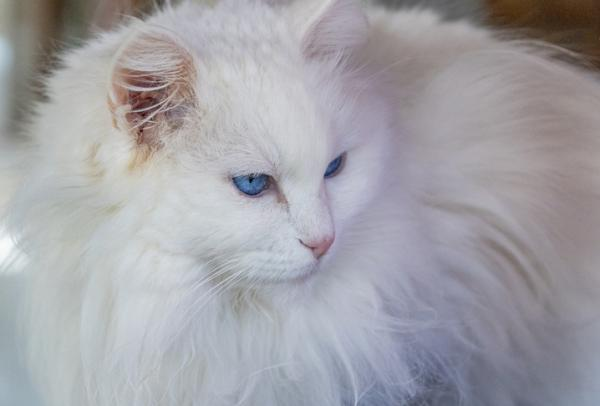 Most intelligent cat breeds: A white Turkish Angora cat with luxurious fur and bright blue eyes