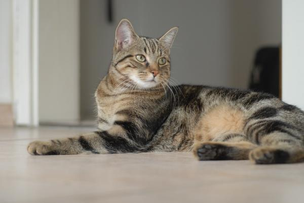 An European Shorthair striped cat resting on the floor
