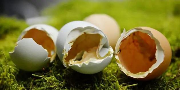 Three calcium rich chicken eggshells on a green background