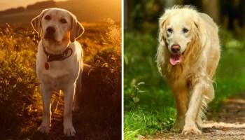 Labrador Retriever and Golden Retriever dogs.