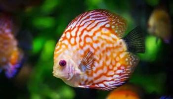 Beautiful white and orange fish.
