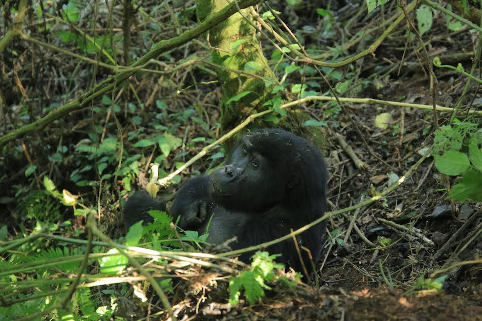 mountain gorilla looking at the camera in the bushes on a gorilla trekking in Africa