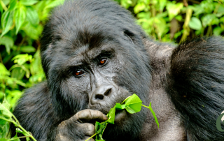 mountain gorilla eating a leaf on a sustainable ecotour gorilla trekking in africa