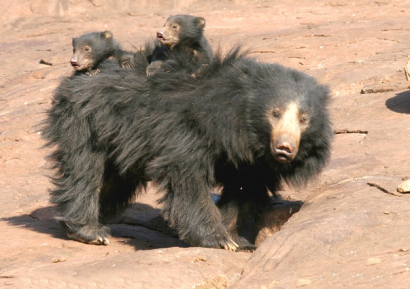 Black Indian Sloth Bear with cubs