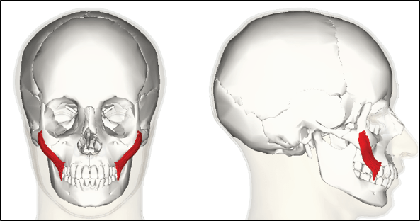Zygomaticus Major muscle (in red)