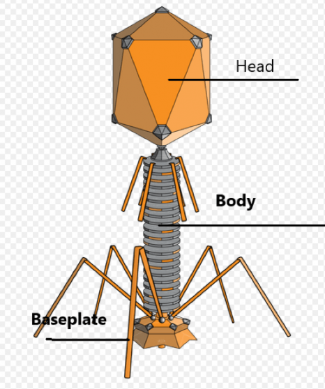 of bacteriophage, T-4