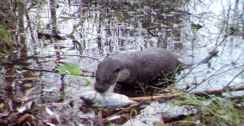 The rarely seen Eurasian otter preparing to feast in the canal. Image Credit: University of Georgia.