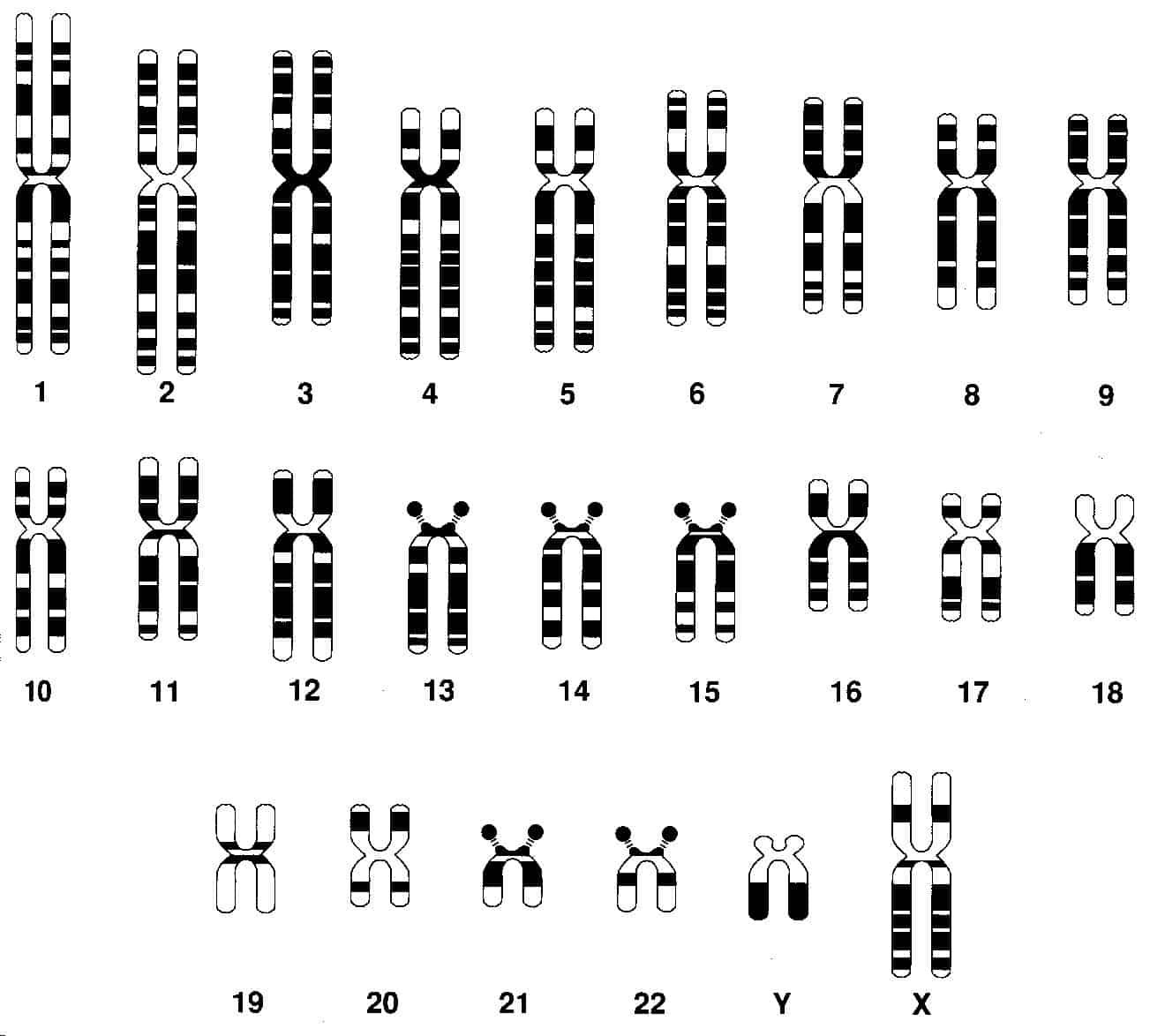 ¿Cuántos cromosomas tienen los humanos?