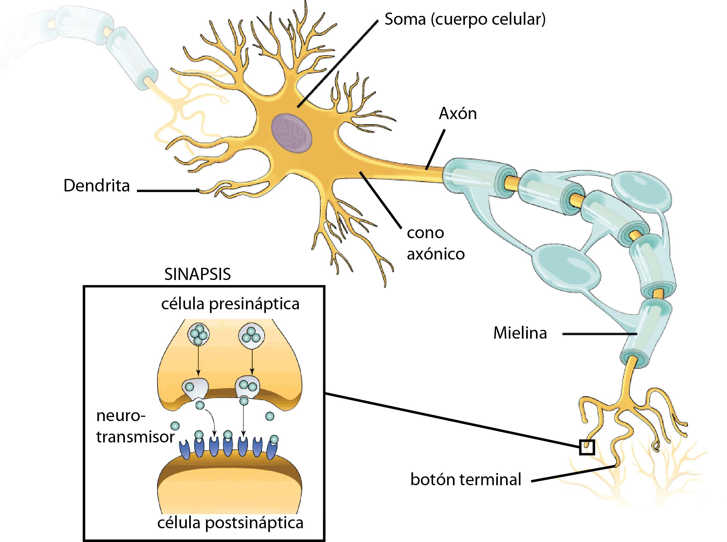 Cuales Son Las Celulas Del Sistema Nervioso Curiosoando