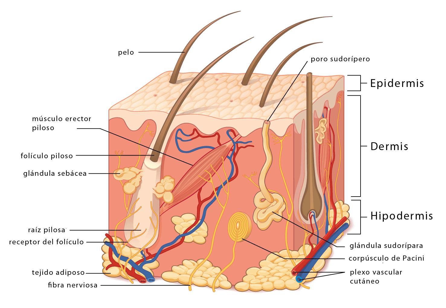 hight resolution of u00bfcu u00e1ntas capas tiene la piel curiosoando frog integumentary system diagram integumentary system comparison
