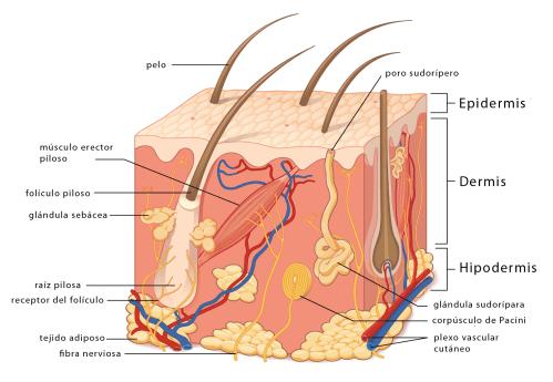 small resolution of u00bfcu u00e1ntas capas tiene la piel curiosoando frog integumentary system diagram integumentary system comparison