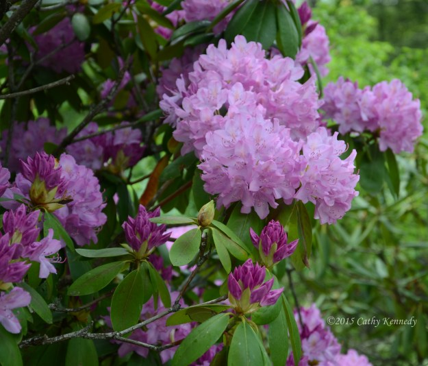 Linnville Falls, North Carolina rhododendron blooms