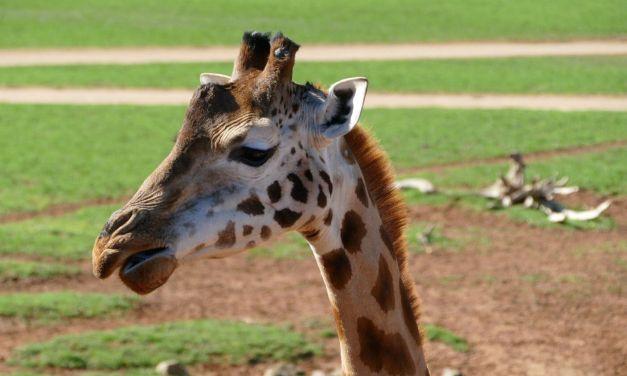 Visit Monarto Zoo Adelaide