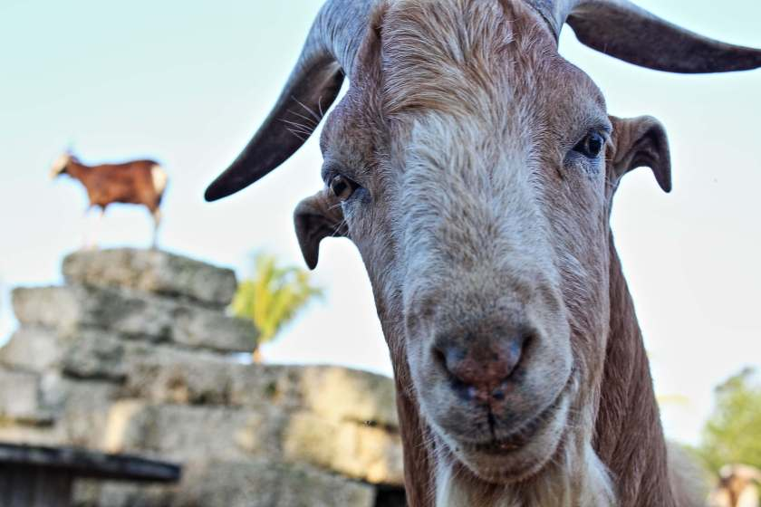 Goat photo by Curious Craig